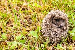 Europeiskt igelkottdäggdjurdjur royaltyfri bild