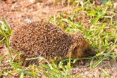 Europeiskt igelkottdäggdjurdjur royaltyfri fotografi