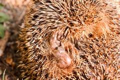 Europeiskt igelkottdäggdjurdjur arkivbild