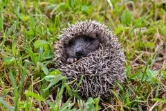 Europeiskt igelkottd?ggdjurdjur royaltyfri foto