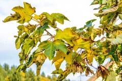 Europeiskt lönnträd i höst med frö arkivfoto