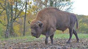 Europeiskt manligt gå för bison Arkivbilder