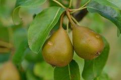 Europeiskt päron eller gemensamt päronträd arkivfoto