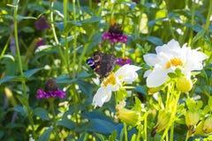 Europeiskt påfågelsammanträde för fjäril på den vita blomman fotografering för bildbyråer