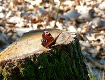 Europeiskt påfågelsammanträde på en stubbe Arkivfoto