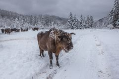 Europeiskt program för återställandet av den europeiska bisonbefolkningen, Karpaty reserv, Ukraina arkivbilder