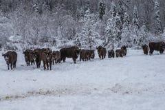 Europeiskt program för återställandet av den europeiska bisonbefolkningen, Karpaty reserv, Ukraina royaltyfria bilder