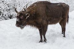 Europeiskt program för återställandet av den europeiska bisonbefolkningen, Karpaty reserv, Ukraina arkivfoton