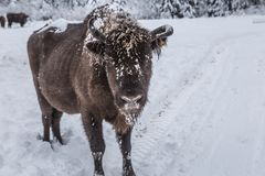 Europeiskt program för återställandet av den europeiska bisonbefolkningen, Karpaty reserv, Ukraina arkivbild