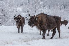Europeiskt program för återställandet av den europeiska bisonbefolkningen, Karpaty reserv, Ukraina fotografering för bildbyråer