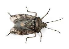 Europeiskt stankfel, Rhaphigaster nebulosa fotografering för bildbyråer