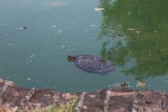Europeiskt träsk för gräsplan för insida för dammsköldpaddaEmys orbicularis arkivfoton