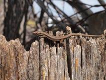 Europejczyk Ścienna jaszczurka, Podarcis muralis Fotografia Stock