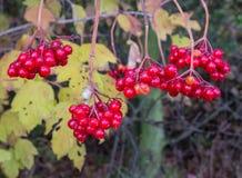 Europejczyk Cranberrybush z kamiennymi owoc obraz royalty free