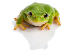 Europejczyk drzewnej żaby zielony obsiadanie odizolowywający na bielu obrazy royalty free