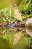 Europejczyk Greenfinch Zdjęcie Royalty Free