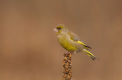 Europejczyk Greenfinch - Carduelis chloris Obraz Stock