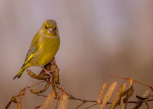 Europejczyk Greenfinch msle - Carduelis chloris - Obrazy Royalty Free