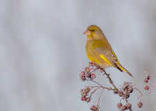 Europejczyk Greenfinch samiec - Carduelis chloris - Obrazy Royalty Free