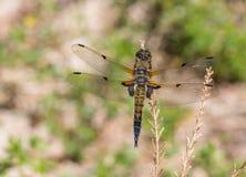 Europejczyka Cztery łowcy dragonfly Libellula łaciasty quadrimaculata Obrazy Stock