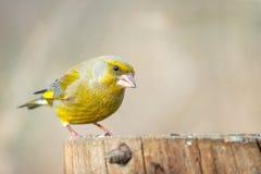 Europejczyka finch Carduelis Zielony chloris na zima ptaka dozowniku fotografia stock