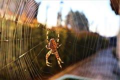 Europejczyka pająka Przecinający Araneus Diadematus zdjęcia royalty free