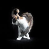 Europejczyka Shorthair kot w czarnym tle Zdjęcie Stock