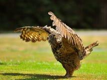 orła europejczyka sowa Zdjęcia Stock
