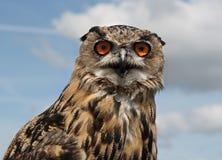 orła europejczyka sowa Zdjęcie Stock