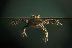 Europejczyka zielony kumak (Bufo viridis) Zdjęcia Stock