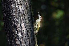 Europejczyka zielony woodpecke Fotografia Stock