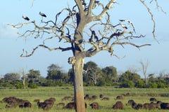 Europejscy bociany w drzewie i przylądka bizonie przy zmierzchem w Tsavo parku narodowym, Kenja, Afryka Fotografia Royalty Free