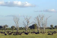 Europejscy bociany w drzewie i przylądka bizonie przy zmierzchem w Tsavo parku narodowym, Kenja, Afryka Zdjęcie Stock