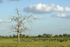 Europejscy bociany w drzewie i przylądka bizonie przy zmierzchem w Tsavo parku narodowym, Kenja, Afryka Fotografia Stock