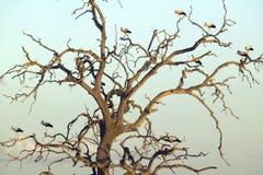 Europejscy bociany w drzewie przy zmierzchem w Tsavo parku narodowym, Kenja, Afryka Fotografia Stock