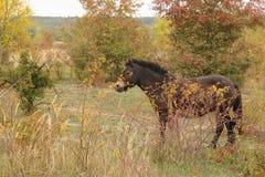Europejscy Dzicy konie, Milovice, Czechia zdjęcie royalty free