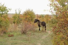 Europejscy Dzicy konie, Milovice, Czechia zdjęcie stock