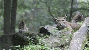 europejscy lasowi lnyxes dwa Obrazy Royalty Free