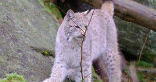 Europejscy młodzi rysia kota spacery i siedzą puszek w lesie zbiory wideo