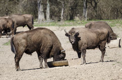 Europejscy żubry w rezerwaci Zdjęcie Royalty Free