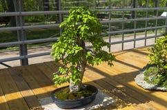 Europejska bonkreta - Bonsai w stylu Obraz Stock