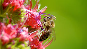 Europejska Ciemna pszczoła Zdjęcia Royalty Free