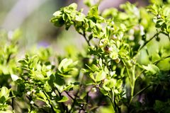 Europejska czarna jagoda w kwiacie w wiośnie Zdjęcia Royalty Free