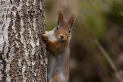 europejska czerwona wiewiórka Obraz Royalty Free