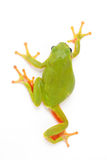 Europejska drzewna żaba 3 obraz royalty free