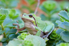 Europejska drzewna żaba Fotografia Stock