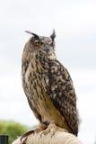 Europejska eurazjata Eagle sowy dymienicy dymienica na żerdzi obraz stock