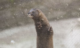 Europejska norka, Mustela lutreola, patrzeje przez siatki Zdjęcie Stock
