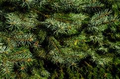 Europejska srebna jodła & x28; Abies alba& x29; Zdjęcie Stock