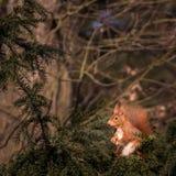Europejska wiewiórka Fotografia Stock